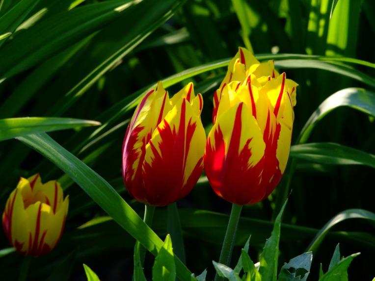 tulips-175254_1920